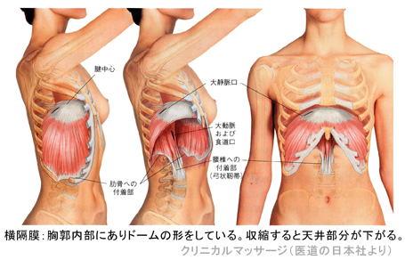 http://www.yumetowa.com/seitai/column/img/oukakumaku3.jpg